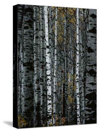 A Forest of White Birch Trees