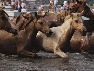 A Group of Foals Comes Ashore Following the Chincoteague Pony Swim