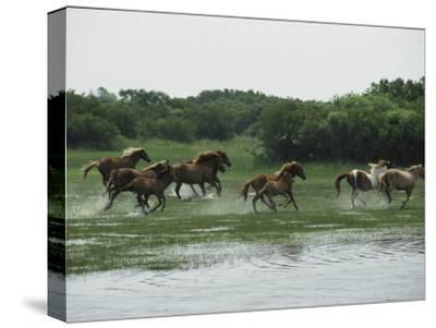 A Herd of Chincoteague Ponies Thunder Through the Assateague Marshes