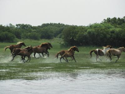 A Herd of Chincoteague Ponies Thunder Through the Assateague Marshes by Medford Taylor