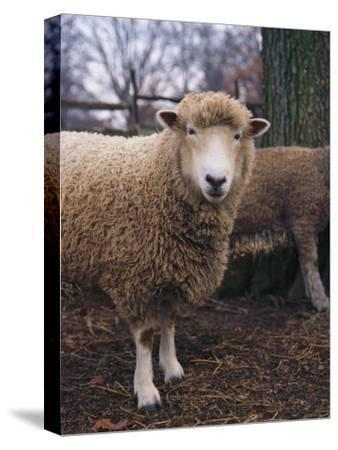 A Portrait of a Romney Sheep