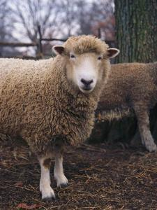 A Portrait of a Romney Sheep by Medford Taylor
