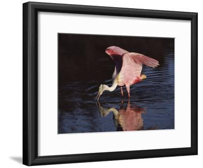 A Roseate Spoonbill Forages for Food in Everglades National Park