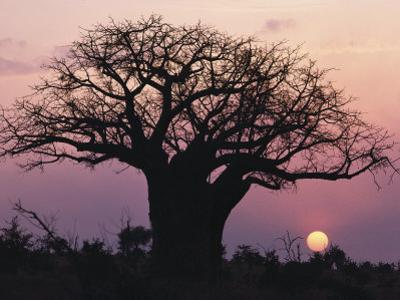A Silhouetted Baobab Tree at Sunset