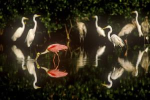 A Single Roseate Spoonbill Feeds Among Great Egrets in Mrazek Pond, Everglades National Park by Medford Taylor