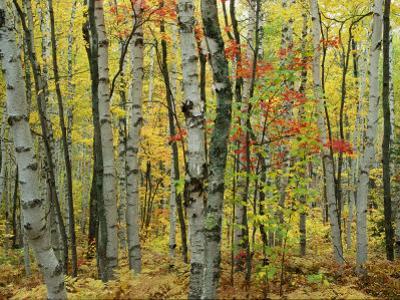 An Autumn View of a Birch Forest in Michigans Upper Peninsula