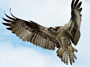 An Osprey, Pandion Haliaetus, Hovers over the James River before Diving for a Fish by Medford Taylor