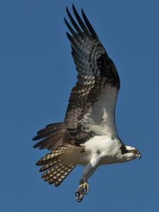 An Osprey, Pandion Haliaetus, Soars over the James River in Richmond, Virginia by Medford Taylor