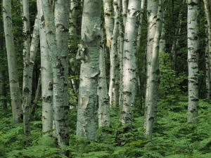 Birch Trees and Ferns in Woodland Scene by Medford Taylor