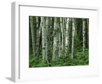 Birch Trees and Ferns in Woodland Scene