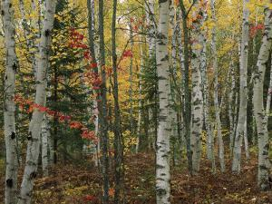 Birch Trees with Autumn Foliage by Medford Taylor