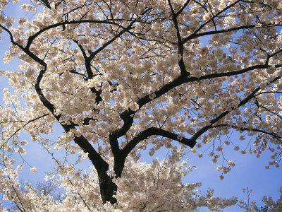 Cherry Trees Blooming in Spring in the Nations Capital