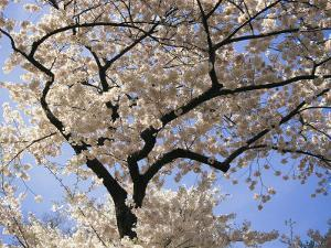 Cherry Trees Blooming in Spring in the Nations Capital by Medford Taylor