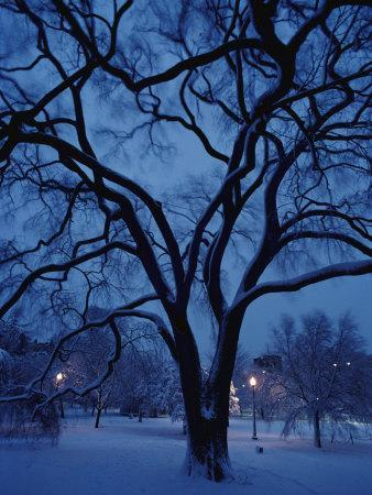 Huge Snow-Covered Tree in Boston Common, the Oldest Public Park in the United States