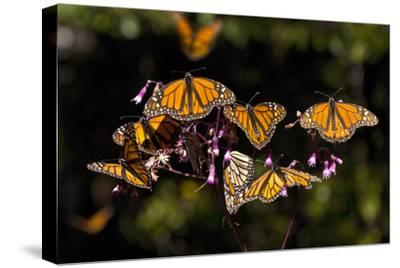 Monarchs Feeding on Milkweed in the Sierra Chincua Monarch Sanctuary, Michoacan, Mexico