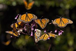 Monarchs Feeding on Milkweed in the Sierra Chincua Monarch Sanctuary, Michoacan, Mexico by Medford Taylor