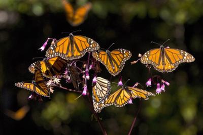 Monarchs Feeding on Milkweed in the Sierra Chincua Monarch Sanctuary, Michoacan, Mexico