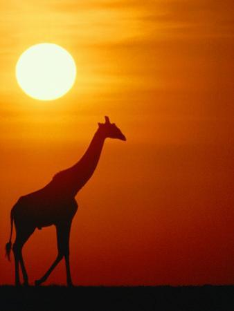 Silhouette of a Giraffe at Sunrise by Medford Taylor