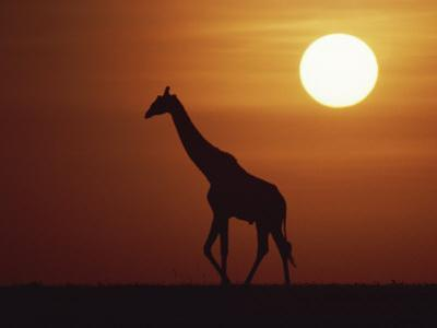 Silhouette of Giraffe Walking at Sunrise by Medford Taylor
