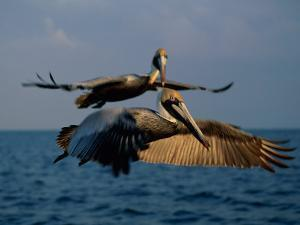Two Brown Pelicans in Flight over Key Biscayne by Medford Taylor