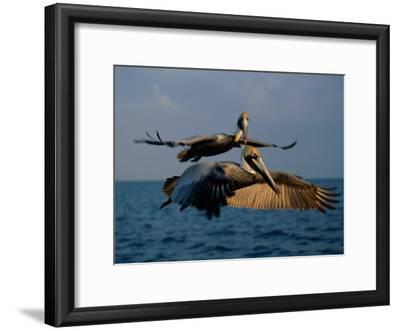 Two Brown Pelicans in Flight over Key Biscayne