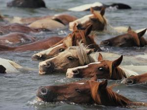 Wild Chincoteague Ponies Swim the Assateague Channel to Auction by Medford Taylor