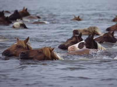 Wild Chincoteague Ponies Swim the Assateague Channel to Auction