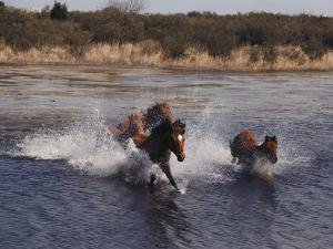 Wild Chincoteague Ponies Swim the Assateague Channel by Medford Taylor