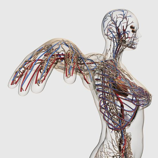 Medical Illustration of Arteries, Veins And Lymphatic System in Female Chest Area-Stocktrek Images-Photographic Print
