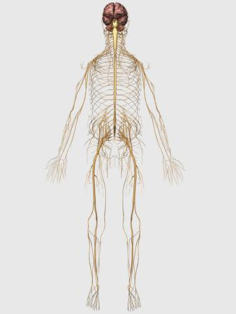 Central Nervous System Diagram For Kids My Bookshelf Human