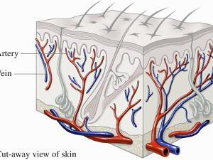 Medical Illustration Showing How Blood Flows Through the Arteries and Veins of the Skin