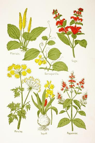 Medicinal Herbs and Plants, from 'Virtue's Household Physician', Published in 1924--Giclee Print