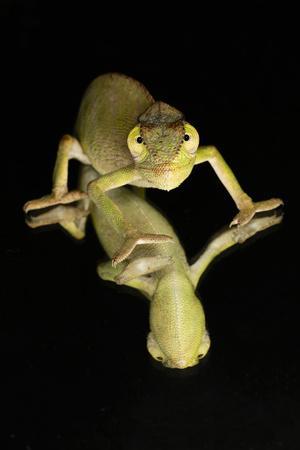 https://imgc.artprintimages.com/img/print/mediterranean-chameleon-and-reflection_u-l-q1dgnn50.jpg?p=0