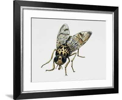 Mediterranean Fruit Fly (Ceratitis Capitata), Tephritidae. Artwork by Tim Hayward--Framed Giclee Print