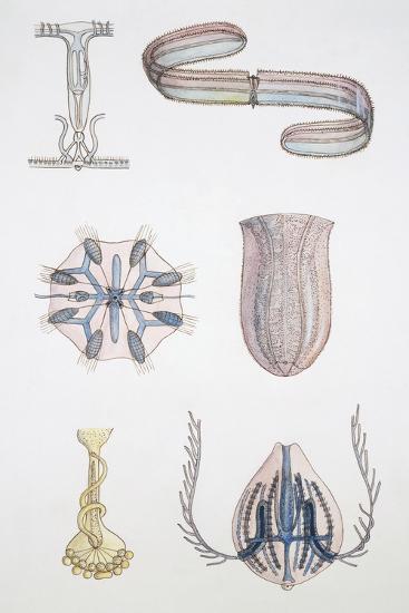 Medium Group of Ctenophores--Giclee Print