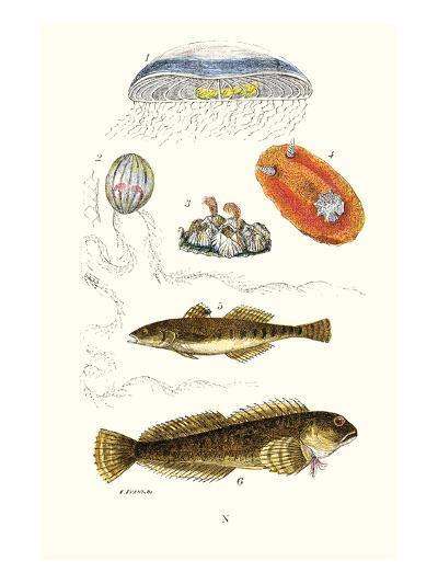 Medusa Jellyfish, Acorn Barnacle, Sea Slug, Spotted Goby-James Sowerby-Art Print