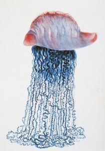 Medusa (Physalis Pelagic)