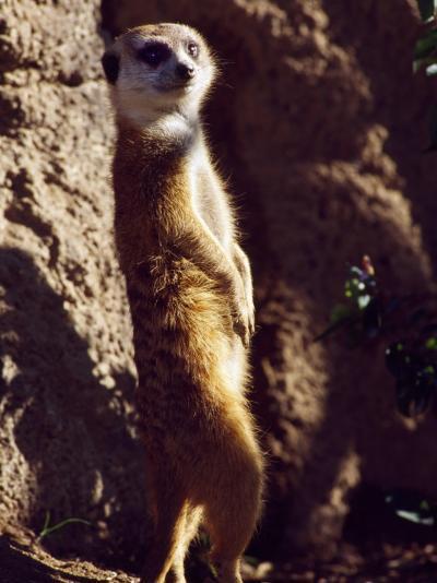 Meercat Stands on its Hindlegs-Jeff Foott-Photographic Print