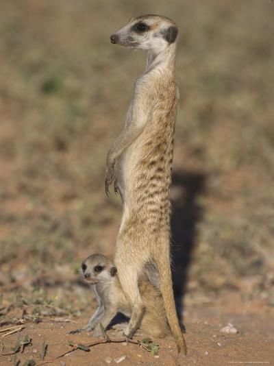 Meerka (Suricata Suricatta) with Young, Kgalagadi Transfrontier Park, South Africa, Africa-Ann & Steve Toon-Photographic Print
