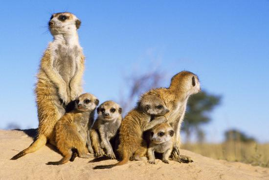 Meerkat Adult Babysitters and Young--Photographic Print