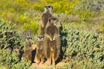 https://imgc.artprintimages.com/img/print/meerkat-family-western-cape-province-south-africa_u-l-q1gaoil0.jpg?p=0