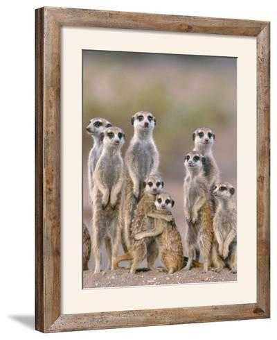 Meerkat Family with Young on the Lookout--Framed Photographic Print