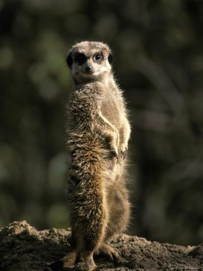 Meerkat Leaning on Tail on Mound, Alert Sentry Duty for Predators, Australia-Jason Edwards-Photographic Print
