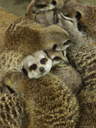 Meerkat Protecting Young, Australia-David Wall-Photographic Print