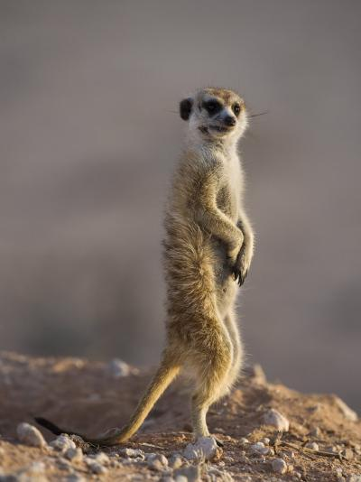 Meerkat Sentinel (Suricatta Suricata), Kgalagadi Transfrontier Park, Northern Cape, South Africa-Ann & Steve Toon-Photographic Print