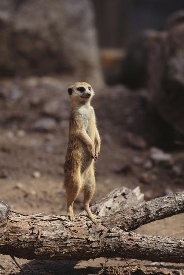 Meerkat Standing Up-DLILLC-Photographic Print