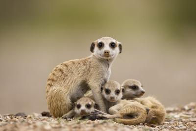 Meerkat with Pups-Paul Souders-Photographic Print