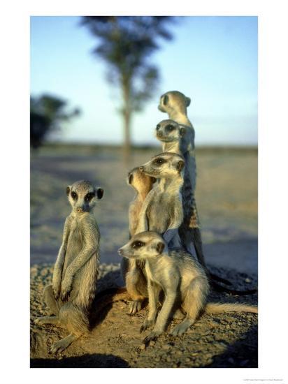 Meerkats, Emerging from Den, Kalahari-David Macdonald-Photographic Print