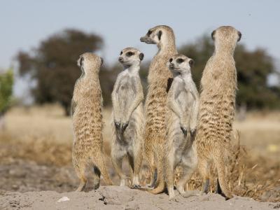 Meerkats on the Edge of the Makgadikgadi Pans-Michael Polzia-Photographic Print
