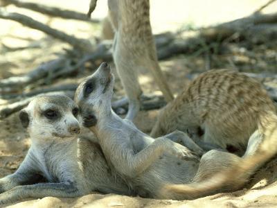 Meerkats, Resting in the Shade, Kalahari-David Macdonald-Photographic Print